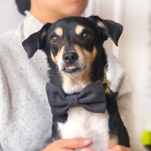 Gone to the Dogs bow tie on dog